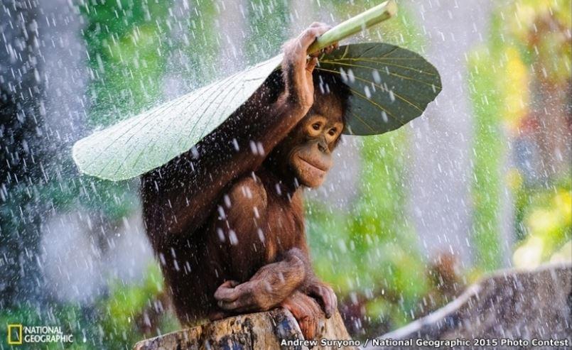 Orangotango de Bali ou A crise e eu